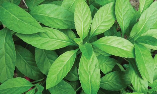 Longevity Spinach